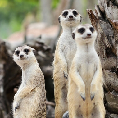 2 for 1 Meet The Meerkats Experience